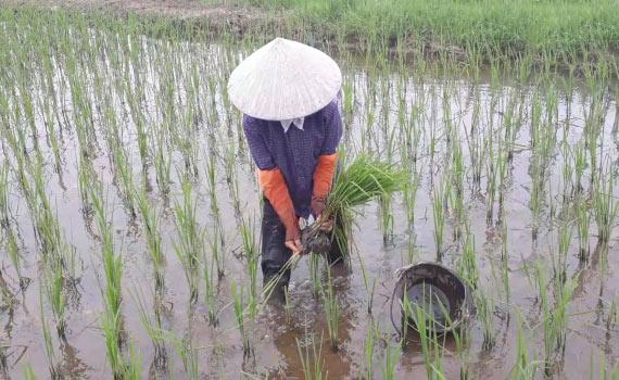 Rong rêu xuất hiện nhiều trên các cánh đồng gieo mạ